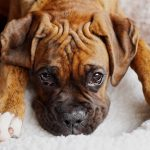 Gingival Hyperplasia in Dogs: Causes, Symptoms, and Treatment