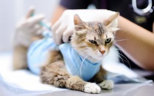 Feline Panleukopenia: Risk Factors, Prevention and Vaccines