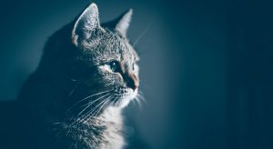 Focal Seizures in Cats: Causes and Treatments