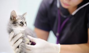 Feline Anesthesia: Protocol, Side Effects and Complications