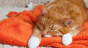 Feline Inflammatory Bowel Disease: Treating IBD in Cats